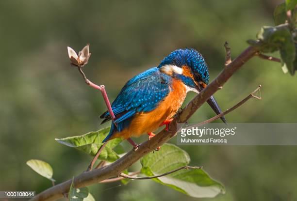 Common Kingfisher...