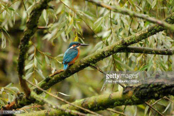 common kingfisher - common kingfisher stock photos and pictures