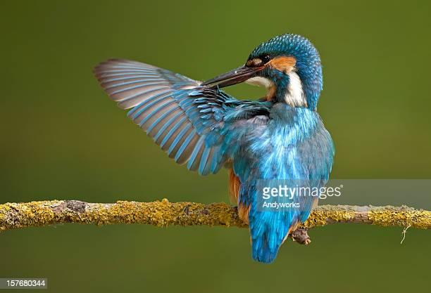 Common Eisvogel (Alcedo atthis