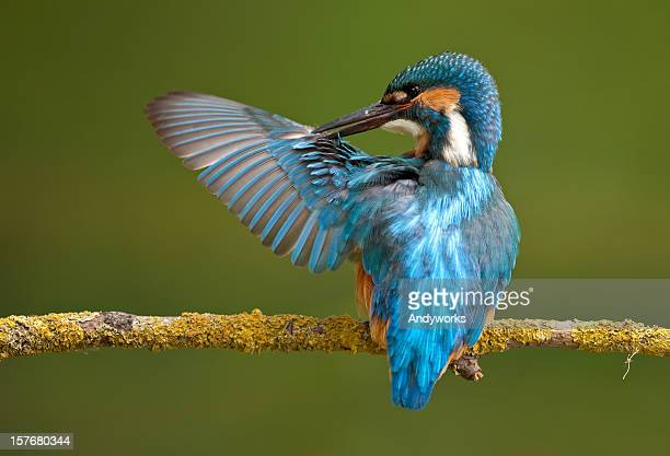 Common Kingfisher ( Alcedo atthis)