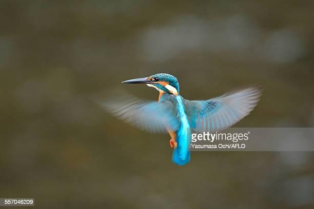 common kingfisher - カワセミ科 ストックフォトと画像