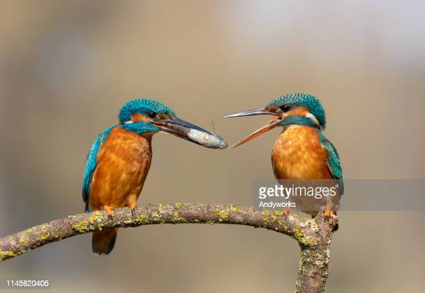 common kingfisher ritual feeding - common kingfisher stock photos and pictures