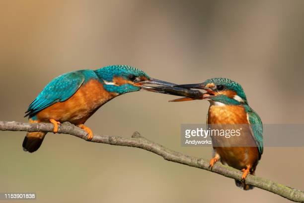 alimentation rituelle commune de kingfisher - accouplement animal photos et images de collection