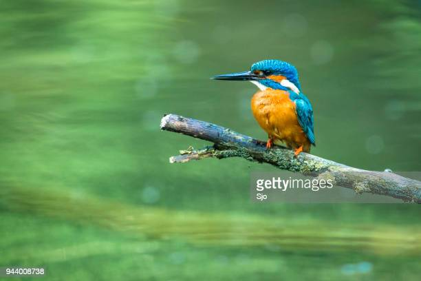 common kingfisher sitting on a branch overlooking a small pond - common kingfisher stock photos and pictures