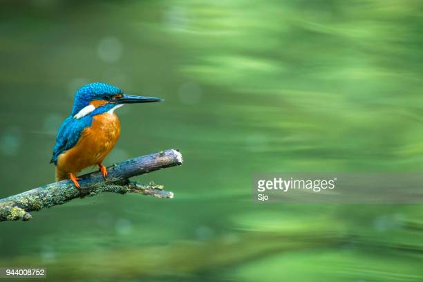 common kingfisher sitting on a branch overlooking a small pond - kingfisher stock pictures, royalty-free photos & images