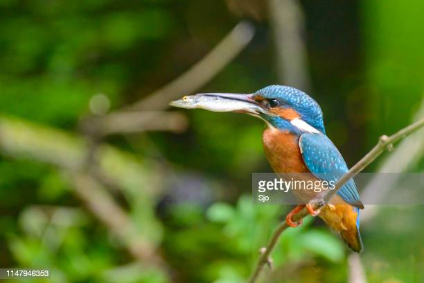 Common Kingfisher sitting on a branch with a small fish in its beak