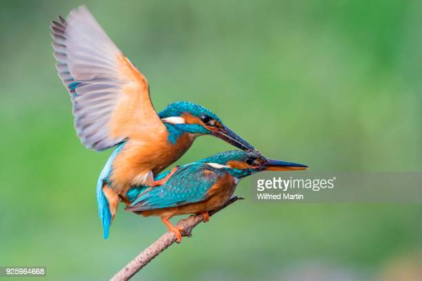 common kingfishers (alcedo atthis) mating, hesse, germany - common kingfisher stock photos and pictures