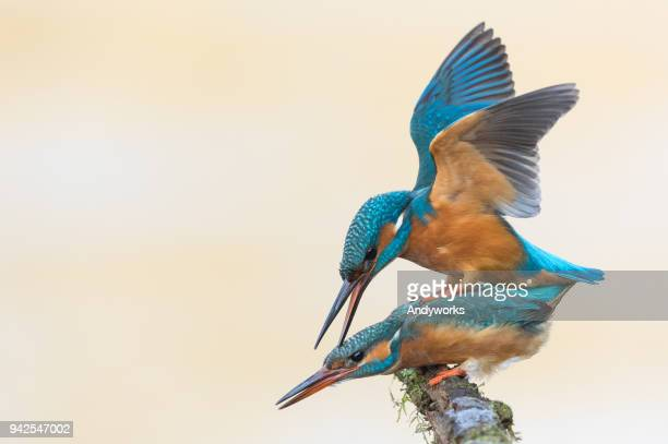 common kingfishers (alcedo atthis) mating. - common kingfisher stock photos and pictures