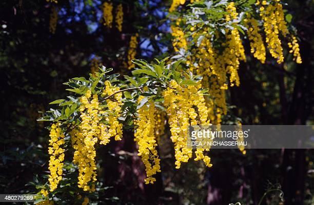 Common Laburnum Fabaceae
