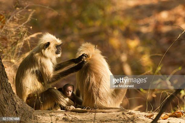 common languar monkeys - bandhavgarh national park stock pictures, royalty-free photos & images