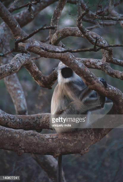 Common langur (Presbytis entellus) sitting on a tree, Bandipur National Park, Chamarajanagar, Karnataka, India