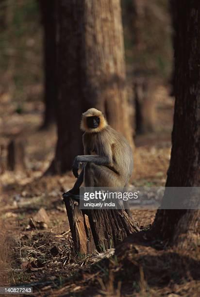 Common langur (Presbytis entellus) sitting on a tree stump, Bandipur National Park, Chamarajanagar, Karnataka, India