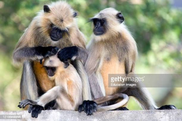 Common langurs and baby monkey near Ranthambore National Park Rajasthan India.