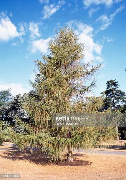 Common Larch Pinaceae