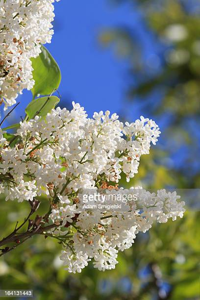 Common Lila (Syringa vulgaris)