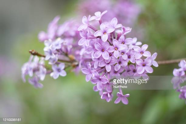 Common Lilac scientifically known as Syringa vulgaris blossoms of the bush blooming a plant famous for its scent as seen in Thessaloniki Greece on...