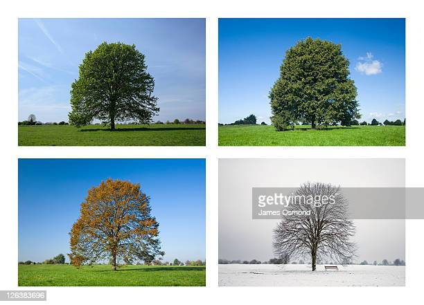 common lime tree, tilia europaea. 4 season sequence. - jahreszeit stock-fotos und bilder