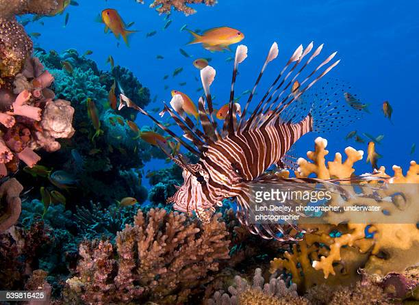 Common Lionfish Red Sea