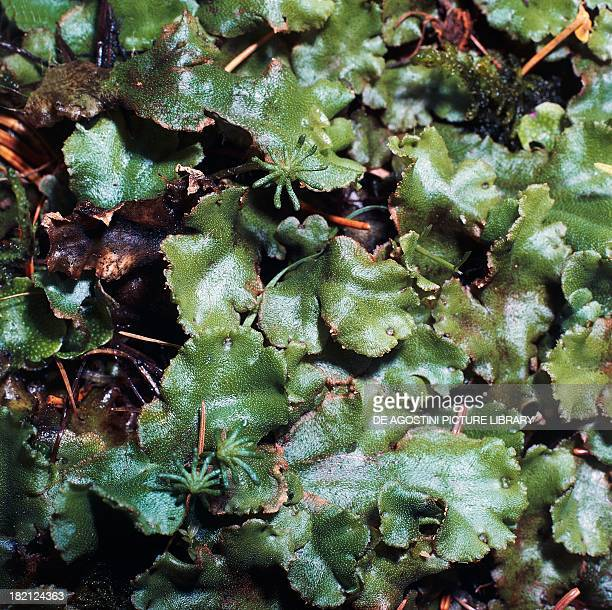 Common Liverwort or Umbrella Liverwort Marchantiaceae