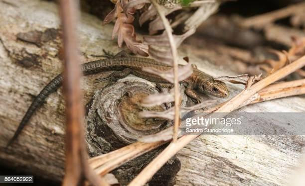 a common lizard warming up in the sun on a log. - hertford hertfordshire stockfoto's en -beelden