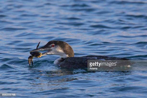 Common loon / great northern diver / great northern loon in winter plumage swimming in sea with caught crab in beak