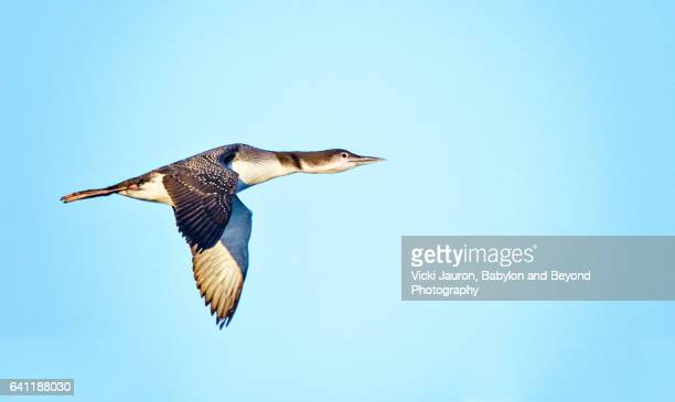 Common Loon in Flight Against Blue Sky at Jones Beach