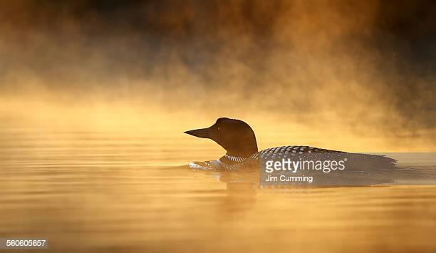 common loon in the mist - common loon stock pictures, royalty-free photos & images