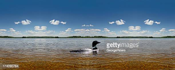 common loon, sky, water panorama - common loon stock pictures, royalty-free photos & images