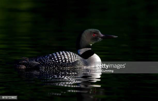 Common Loon swimming on lake