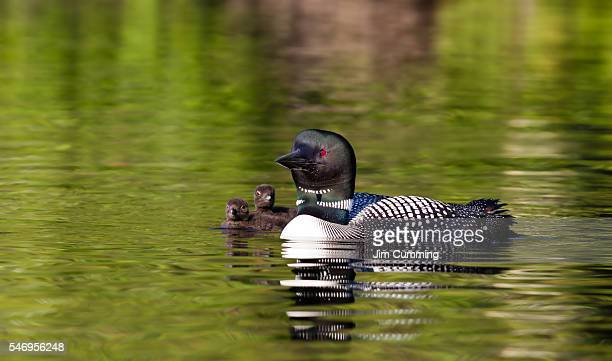 common loon swims with chicks (gavia immer) - common loon stock pictures, royalty-free photos & images