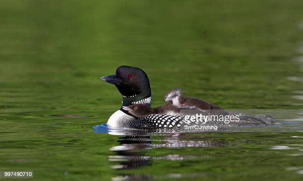 common loon with chick - common loon stock pictures, royalty-free photos & images