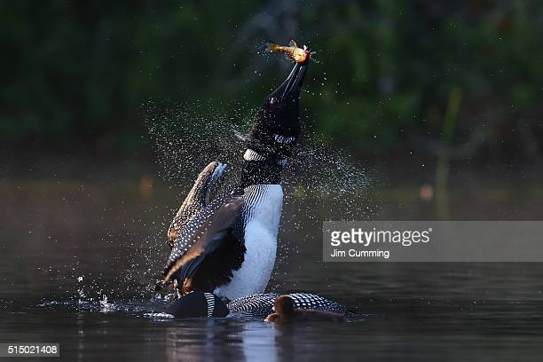 common loon with fish - common loon stock pictures, royalty-free photos & images