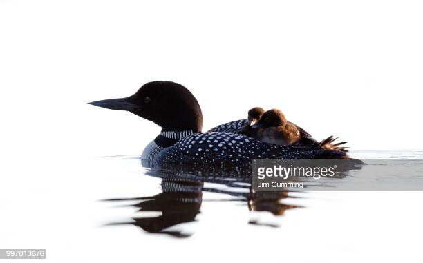 common loon with her chicks - common loon stock pictures, royalty-free photos & images