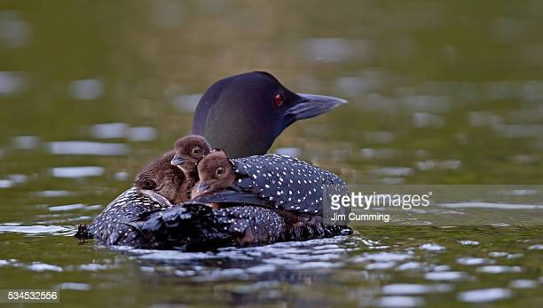 Common loon with two chicks