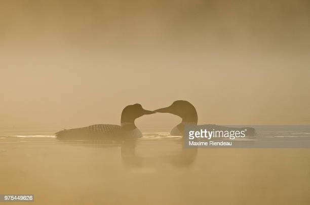 Common loons (plongeon huard) swimming in foggy lake, Quebec, Canada