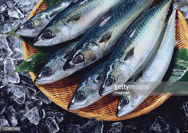 Common Mackerel