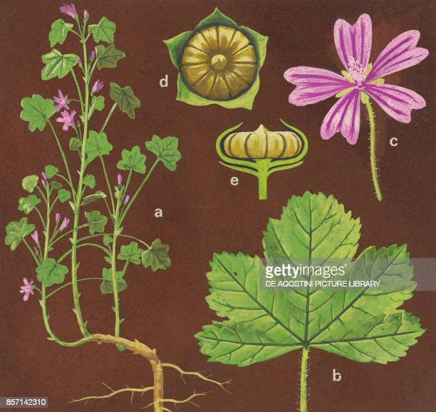 a plant with flowers and roots b leaf c flower de fruit drawing