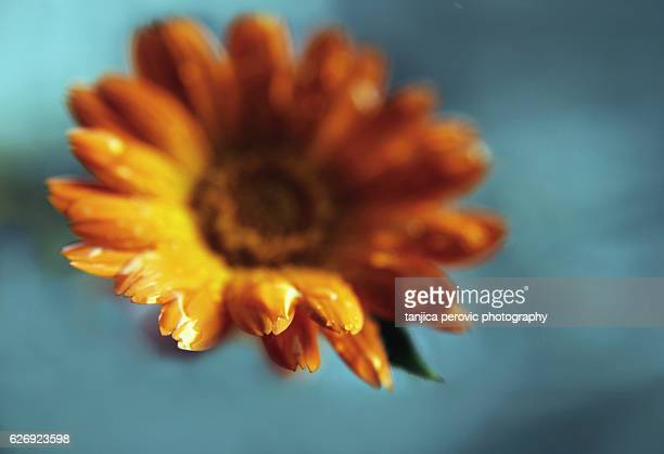 common marigold - best garden plant - pot marigold stock pictures, royalty-free photos & images
