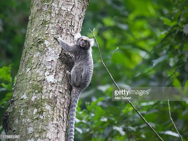 a common marmoset in rio's botanical gardens. - alex saberi stock-fotos und bilder