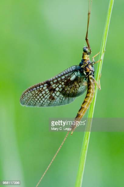 common mayfly ephemera vulgata - mayfly stock pictures, royalty-free photos & images