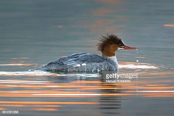 common merganser - two medicine lake montana stock photos and pictures