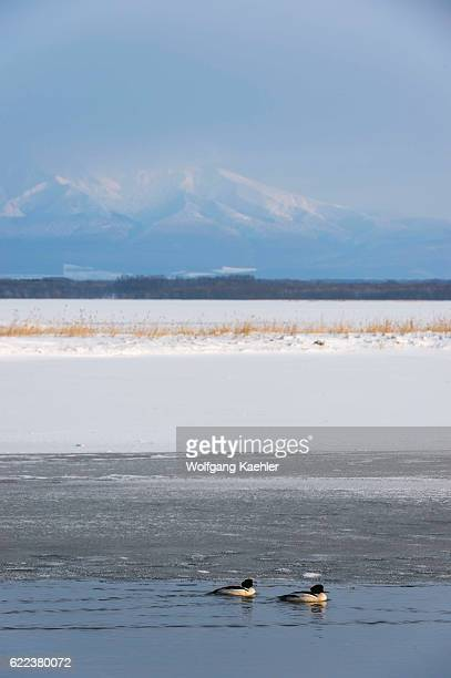 Common mergansers swimming on a lake in the winter near Abashiri a city located on the Sea of Okhotsk Hokkaido Japan