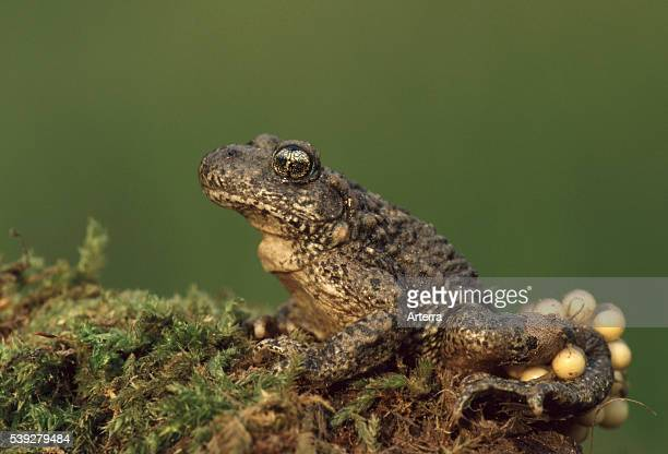 Common midwife toad male carrying eggs