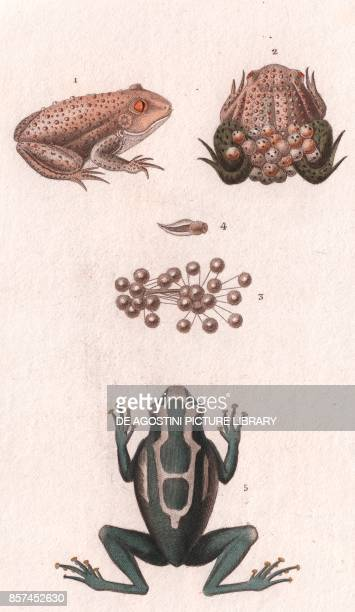 14 Common midwife toad male with eggs and tadpoles 5 Dyeing dart frog colour copper engraving retouched in watercolour 9x15 cm from Dizionario delle...