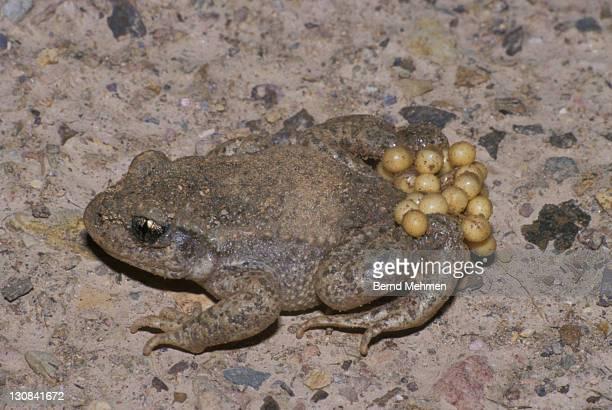 common midwife toad (alytes obstetricans) - animais machos - fotografias e filmes do acervo