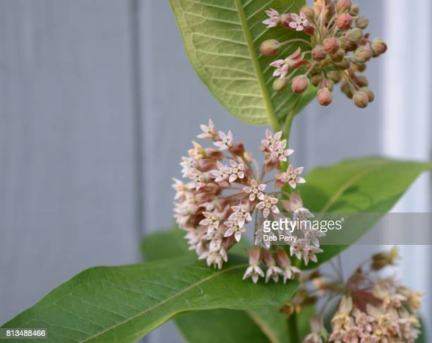 Common milkweed blooms