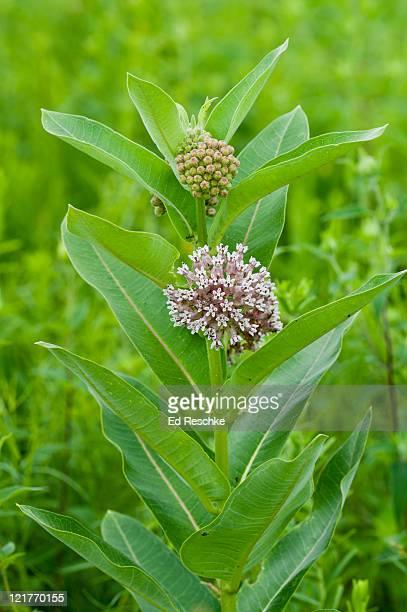 common milkweed (asclepias syriaca) fruit pod that splits open releasing silky seeds, illinois, usa - milkweed stock pictures, royalty-free photos & images