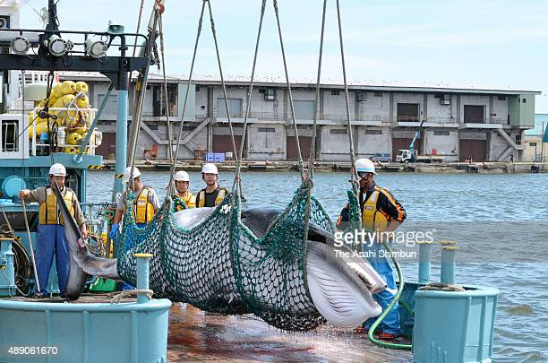 A common minke whale is unloaded at Kushiro port during a research whaling on September 5 2015 in Kushiro Hokkaido Japan