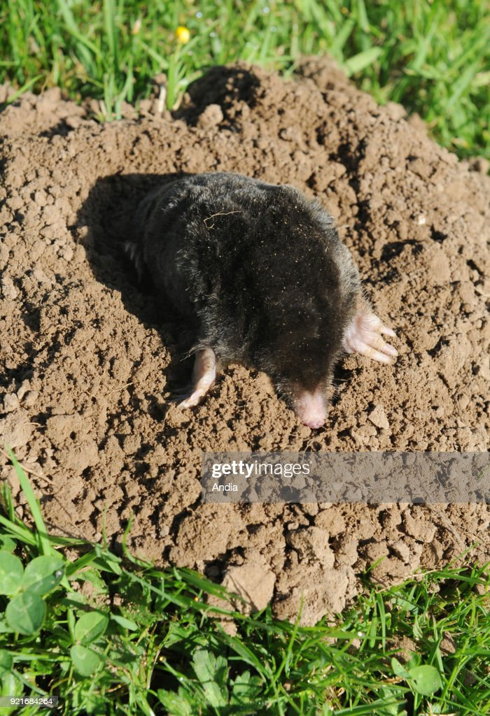 Common mole (Talpa europaea) going out of a molehill.