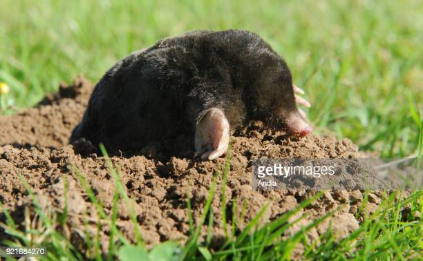 Common mole going out of a molehill